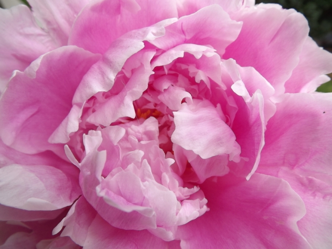 peony from local market for Father's Day