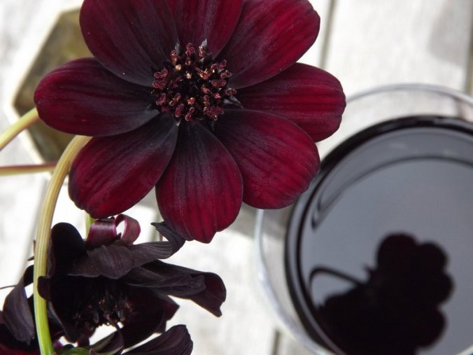 chocolate cosmos and red wine